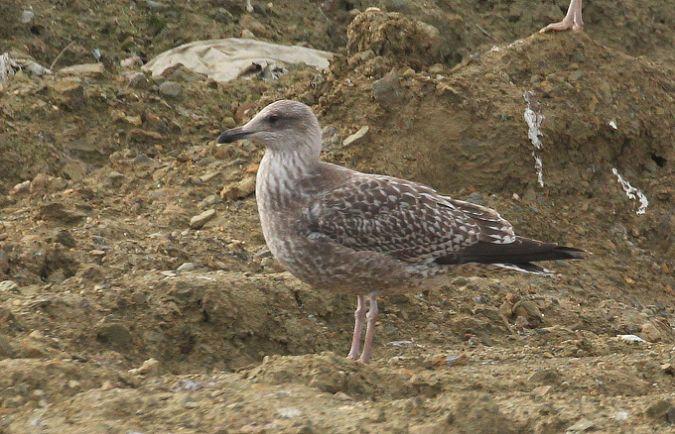 Goéland argenté (L.a.argentatus)  - Philippe J. Dubois