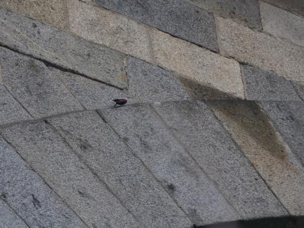 Tichodrome échelette  - Erwan Leneveu