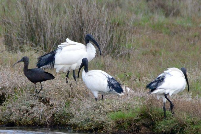 Ibis falcinelle  - Le Bail Yves