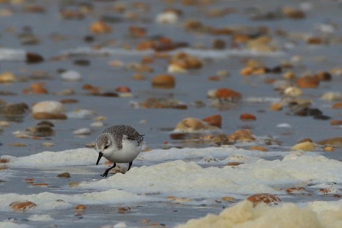 Bécasseau sanderling  - Pierrick Girard