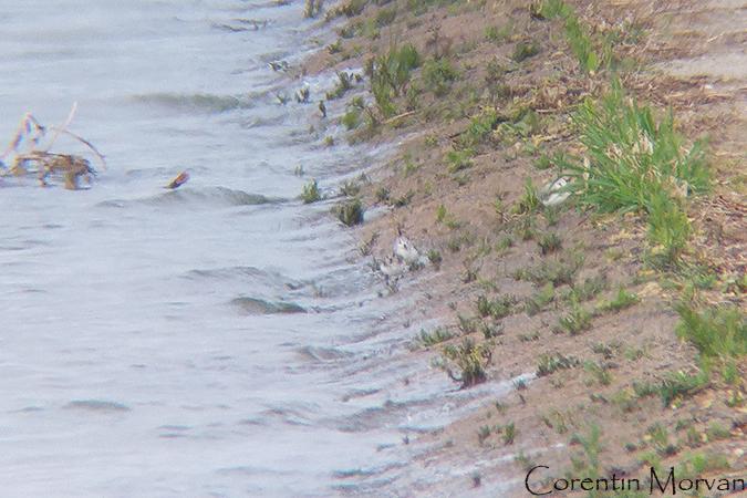 Bécasseau sanderling  - Corentin Morvan