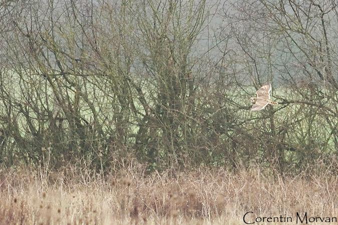 Hibou des marais  - Corentin Morvan