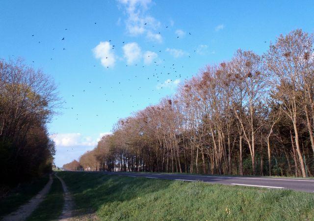 Corbeau freux  - Raphaël Durost