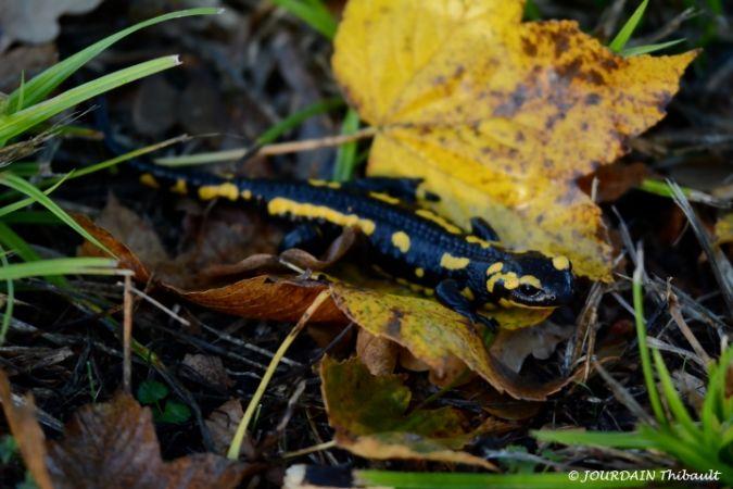 Salamandre tachetée  - Thibault Jourdain