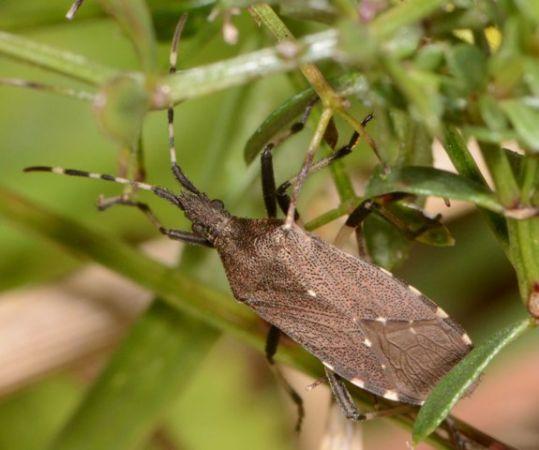 Dicranocephalus agilis  - Luc Gizart(ReNArd)