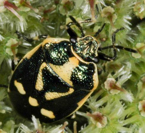 Eurydema (Eurydema) oleracea  - Luc Gizart(ReNArd)