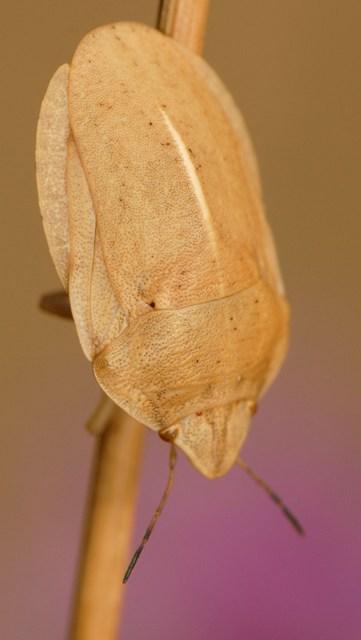Eurygaster austriaca  - Luc Gizart(ReNArd)