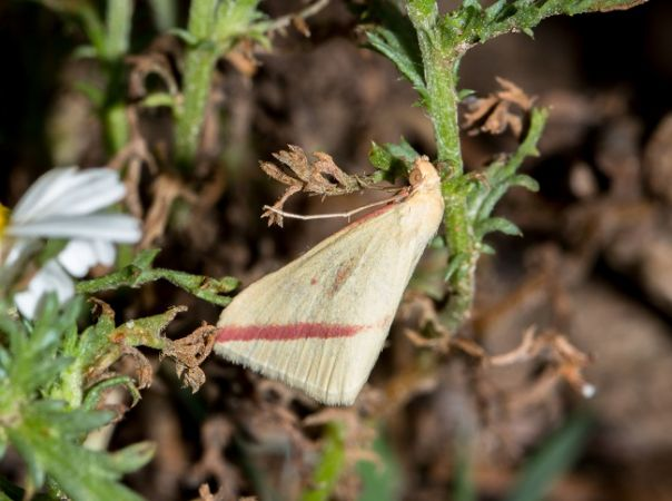 Rhodometra sacraria  - Claude Champarnaud