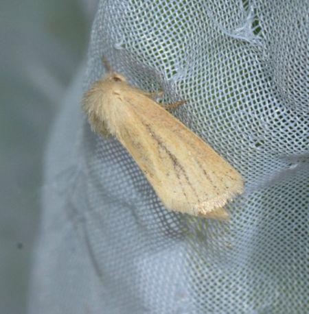 Denticucullus pygmina  - Ron & Hazel West