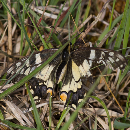Machaon  - François Corbineau