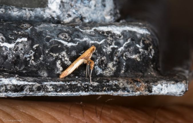Gracillariidae indéterminé  - Claude Champarnaud