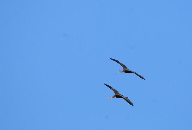 Ibis falcinelle  - Marc Dubois