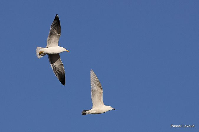 Goéland à ailes blanches  - Pascal Lavoué