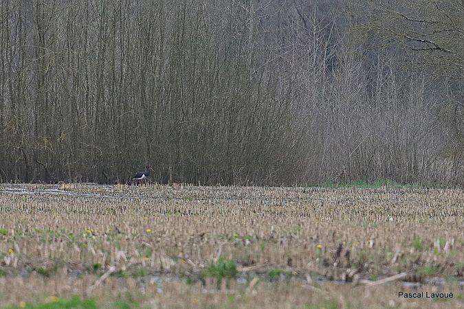 Cigogne noire  - Pascal Lavoué