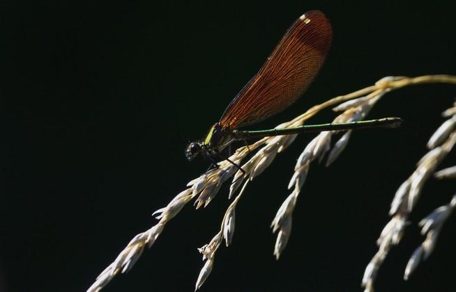 Caloptéryx vierge  - Rainaud Daniele