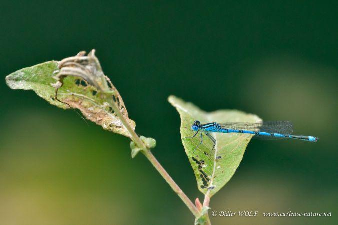 Naïade aux yeux bleus  - Didier Wolf