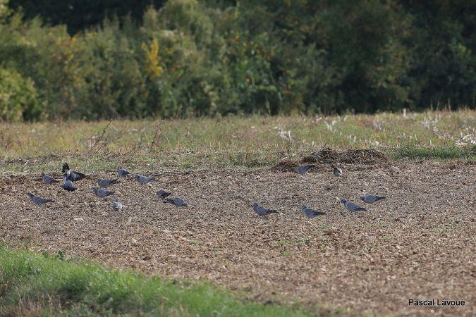 Pigeon colombin  - Pascal Lavoué