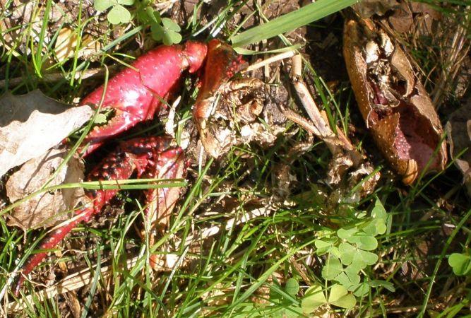 Ecrevisse rouge de Louisiane  - Dominique Goyard