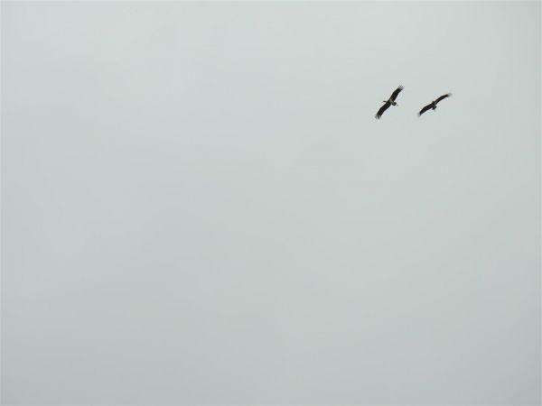 Cigogne noire  - Jean-Michel Chartendrault
