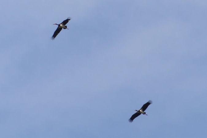 Cigogne noire  - Florent Besson