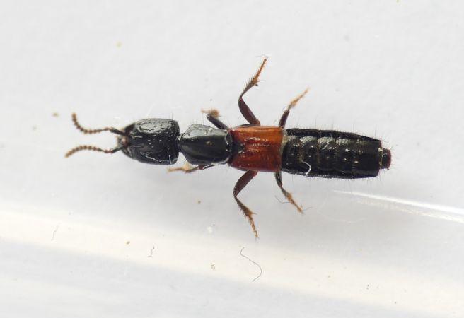Gauropterus fulgidus  - Florent Besson