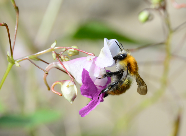 Groupe Bombus pascuorum spp.  - Michel Pansiot