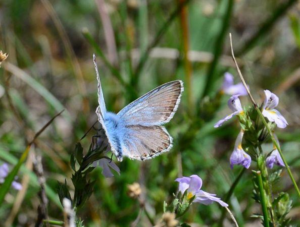 Bleu-nacré (Argus bleu-nacré)  - Michel Pansiot
