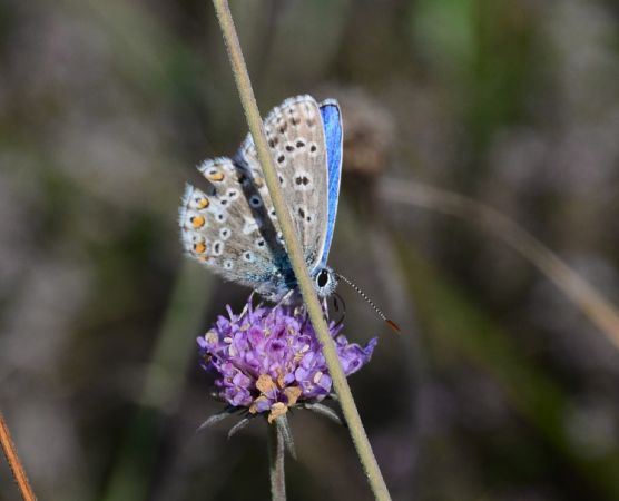 Argus (Azuré) bleu céleste  - Michel Pansiot