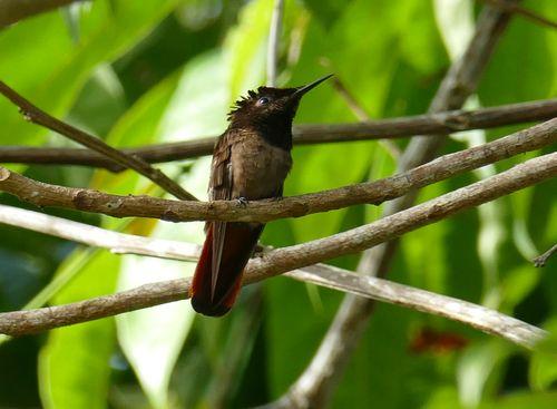 Colibri rubis-topaze  - Hervé Breton