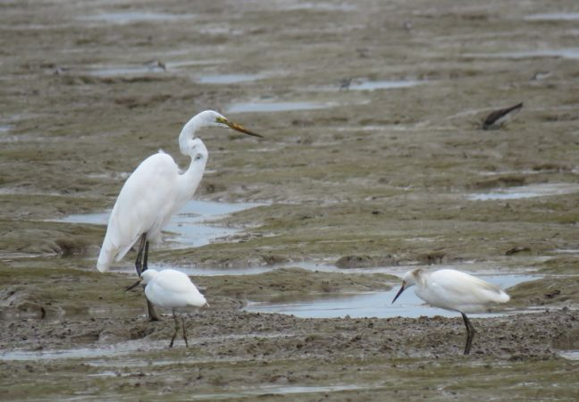 Grande Aigrette  - Quentin D'orchymont