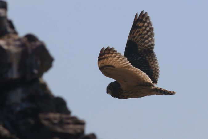 Hibou des marais  - Kévin Pineau (RNC)(RNN Connét)