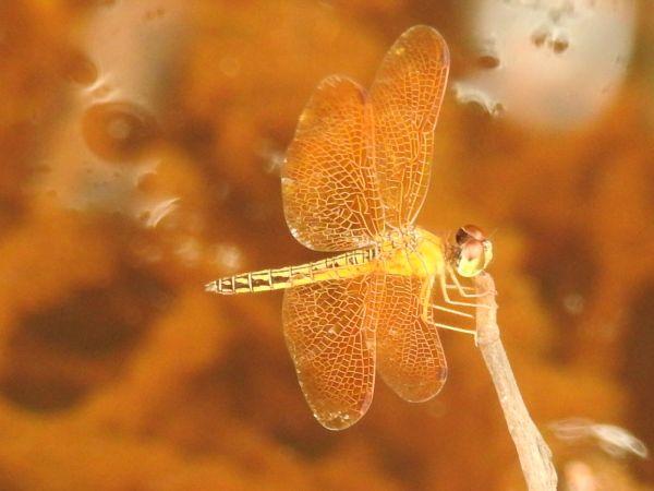 Perithemis electra  - Grégory Cantaloube