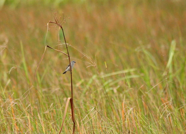 Sporophile gris-de-plomb  - Paul Lenrume