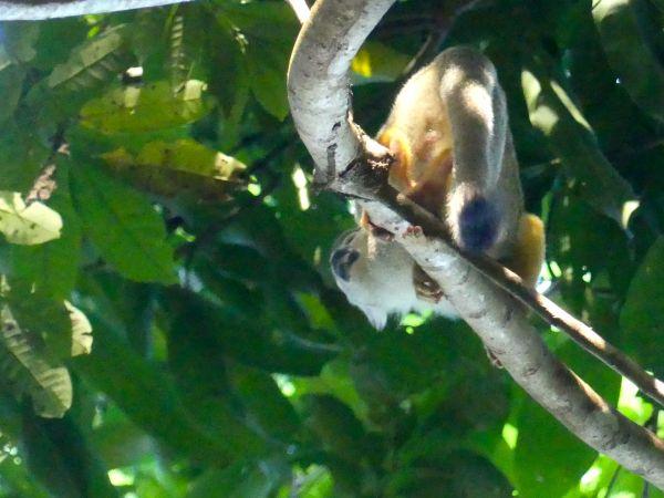 Singe-écureuil commun  - Valerie Menoret