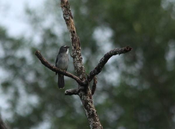 Saltator gris  - Paul Lenrumé (biotope Agence Amazonie)
