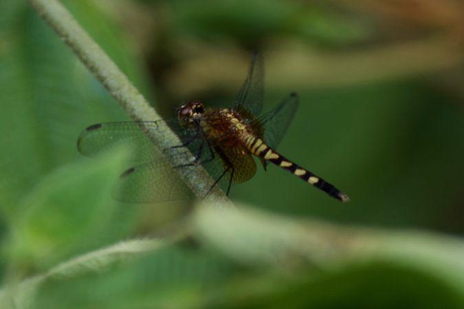 Erythrodiplax unimaculata  - Gil Jacotot