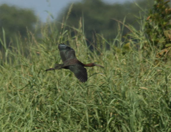 Ibis falcinelle  - Paul Lenrume