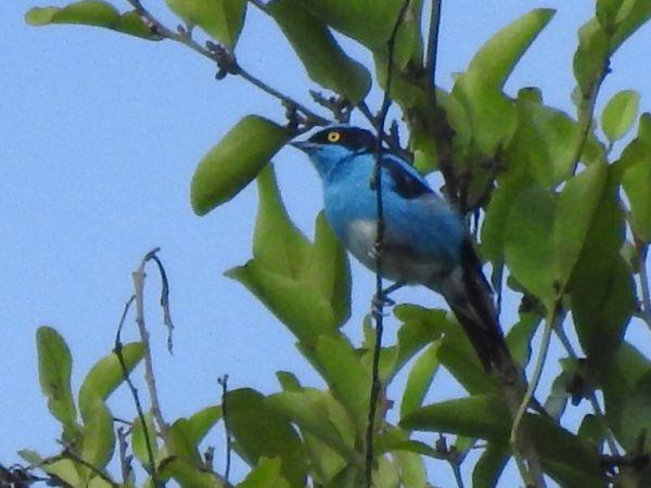 Dacnis à coiffe bleue  - Grégory Cantaloube