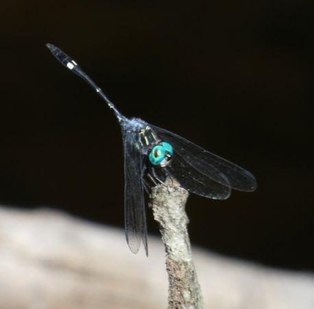 Micrathyria pseudeximia  - Sylvain Uriot