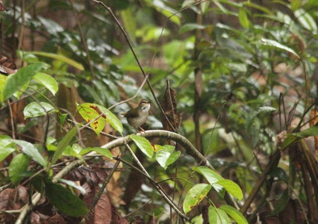 Paruline des rives  - Paul Lenrumé (biotope Agence Amazonie)