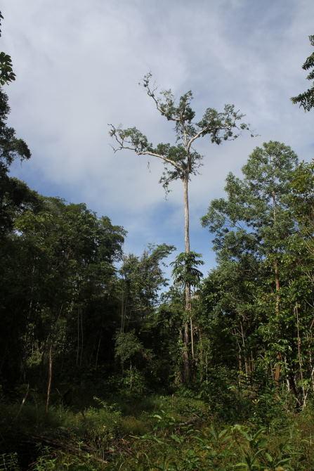 Calliste varié  - Paul Lenrumé (biotope Agence Amazonie)