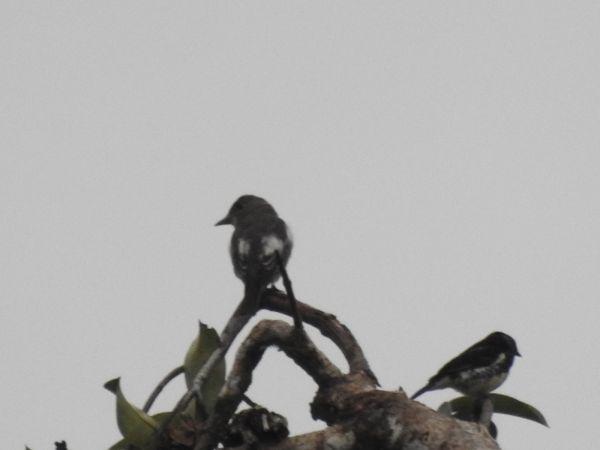 Moucherolle à côtés olive  - Grégory Cantaloube
