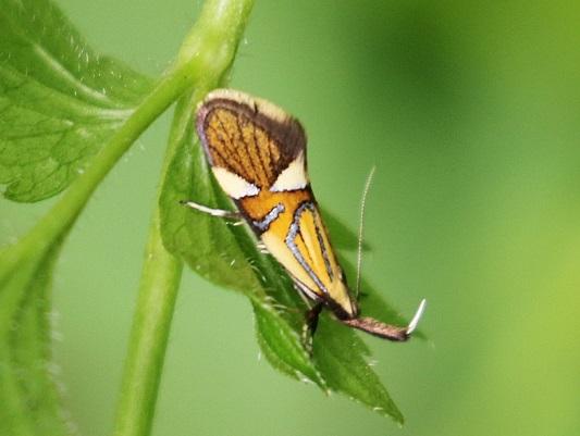Alabonia geoffrella  - Claude Hardel