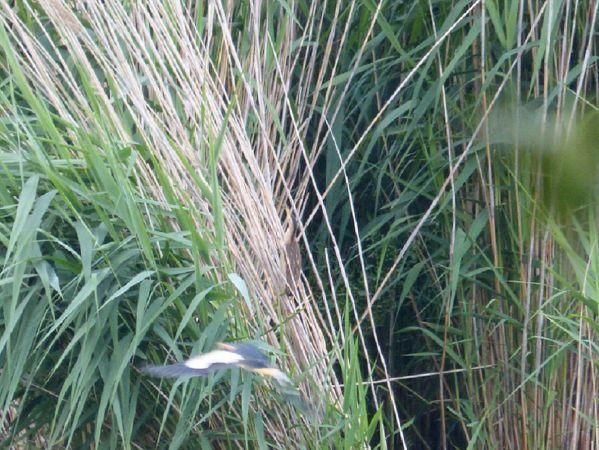 Blongios nain  - Pascal/sylvie Le Guen/ruffin