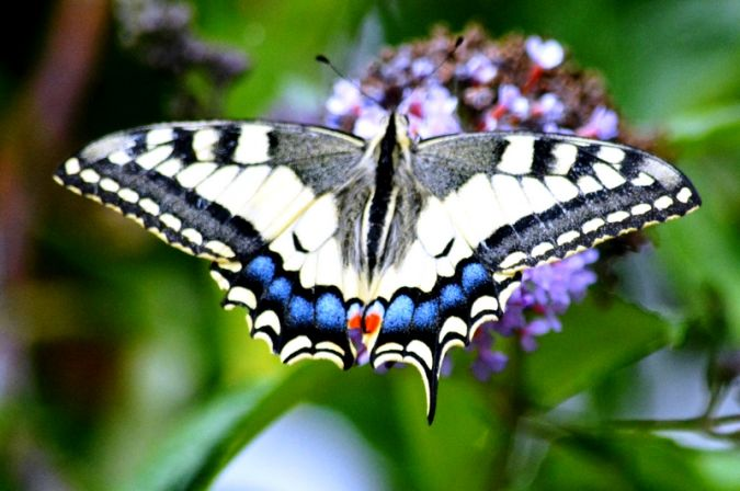 Machaon  - Stephane Renner