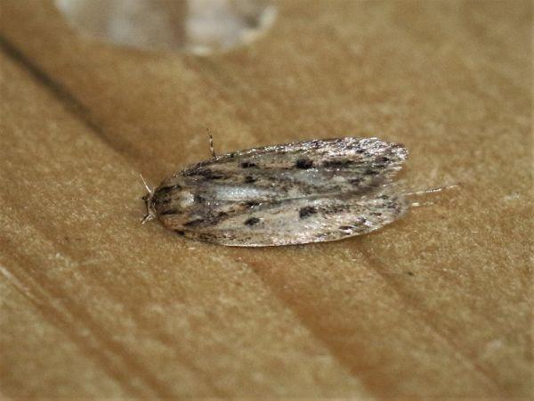 Hofmannophila pseudospretella  - Claude Hardel