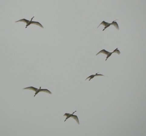 Spatule blanche  - Rémi Jugieux