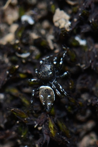 Heliophanus tribulosus  - Marie Jouvel