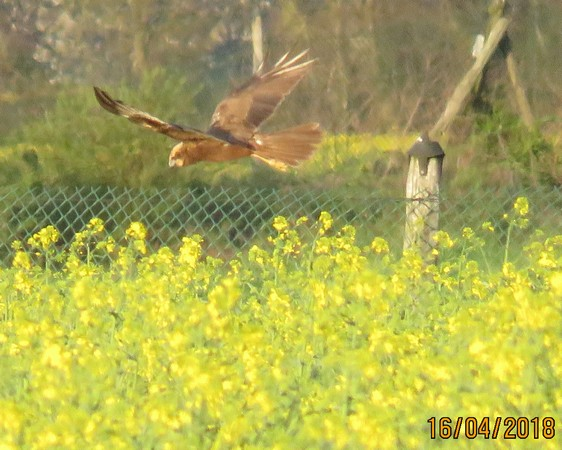 Busard des roseaux  - Georges Laurencin
