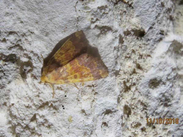 Tiliacea aurago  - Georges Laurencin